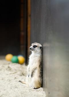 Suricate posant au zoo debout contre le mur