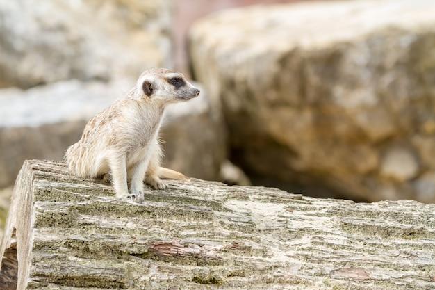 Un suricate à la recherche