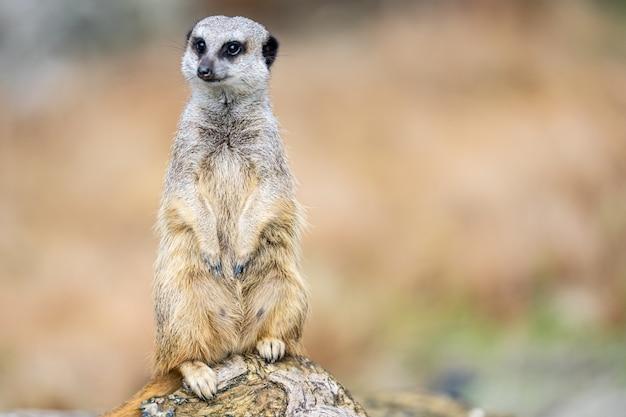 Le suricate, suricata suricatta ou suricate est un petit carnivore de la famille des mangoustes. c'est le seul membre du genre suricata