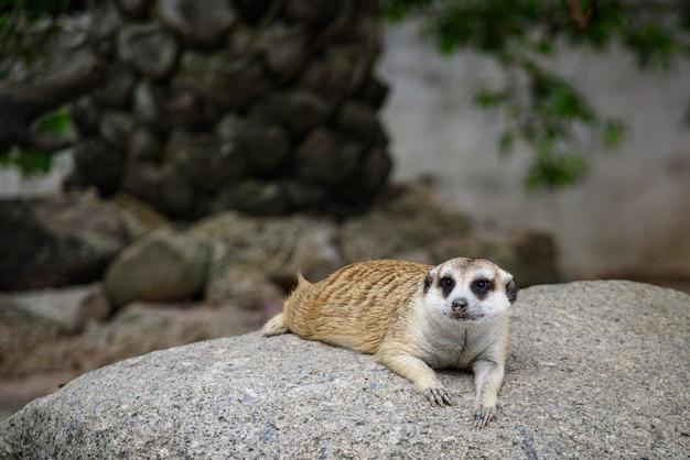 Suricate, suricata suricatta vivant sur terre