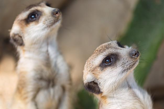 Le suricate ou le suricata suricatta.