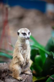 Suricate, suricate dans le parc du zoo.