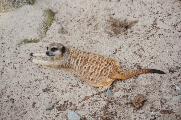 Suricate suricate ou suricata suricatta. petit carnivore appartenant à la famille des mangoustes - herpestidae. animal mignon indigène africain. regard délicat mignon.