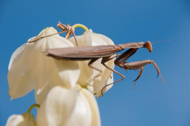 Surope bugs plantes religiosa insectes blanc