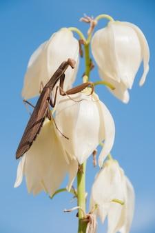 Surope crawlie mantis religiosa yucca religiosa étude
