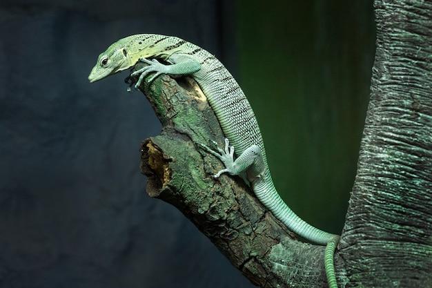Surveillez l'eau verte (varanus salvator) sur un arbre dans l'atmosphère naturelle du zoo.