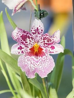 Susan bogdanow orchidée, odontonie