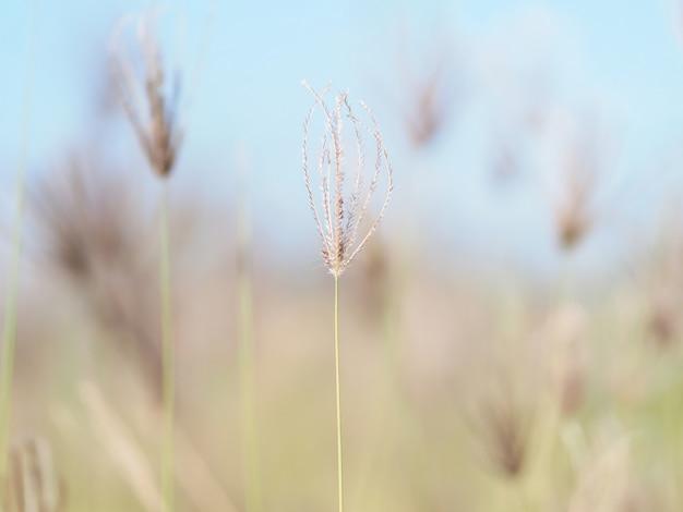 Swallen fingergrass chloris barbata sw. république dominicaine. mise au point sélective.