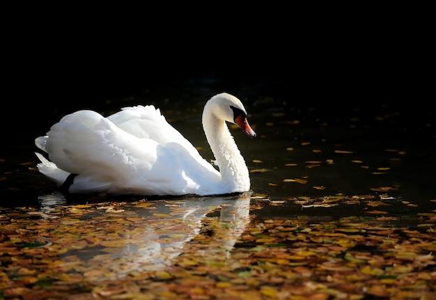 Swan nageant dans le lac