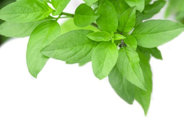 Sweet basil herb cultiver dans un jardin biologique. feuille de basilic thaïlandais (ocimum basilicum)