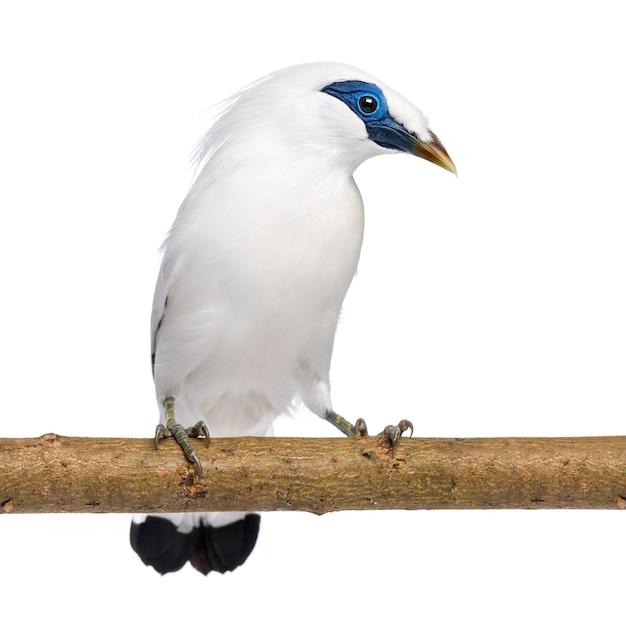 Swift de rothschild sur une branche - cypseloides rothschildi