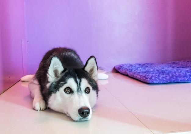 Syberien husky dans la chambre