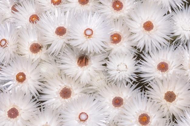 Syncarpha vestita fleurs à cape peninsula, afrique du sud
