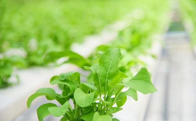 Système hydroponique de légumes jeunes et fraîches salades vertes en croissance plantes de jardin de ferme sur l'eau sans sol agriculture dans la serre bio