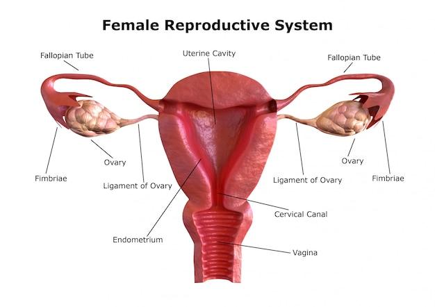 Le système de reproduction féminin