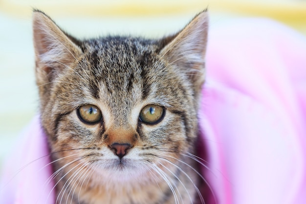 Tabby chaton avec couverture rose