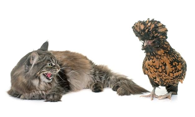 Tabby maine coon et poulet