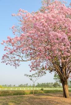 Tabebuia ou arbre à fleurs trompette rose en pleine floraison en face de champ vert