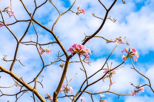 Tabebuia douce fleur rose en fleurs