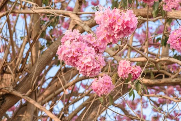 Tabebuia rosea est un arbre néotropical à fleur rose. nom commun trompette rose, poui rose, rose tec