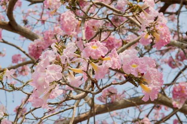 Tabebuia rosea en thaïlande