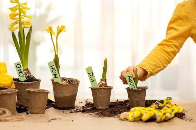Sur la table, des fleurs jaunes dans des pots de tourbe avec des plaques de membres de la famille