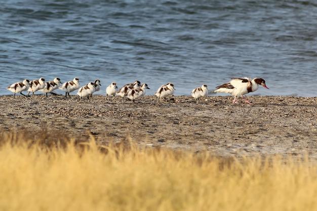 Tadorne femelle avec 13 poussins
