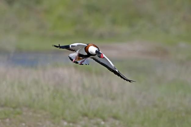 Tadorne femelle adulte filmée en vol