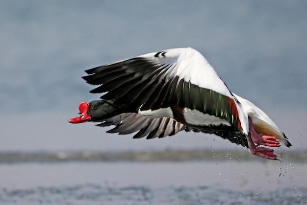 Tadorne mâle adulte filmé pendant le décollage pour le vol