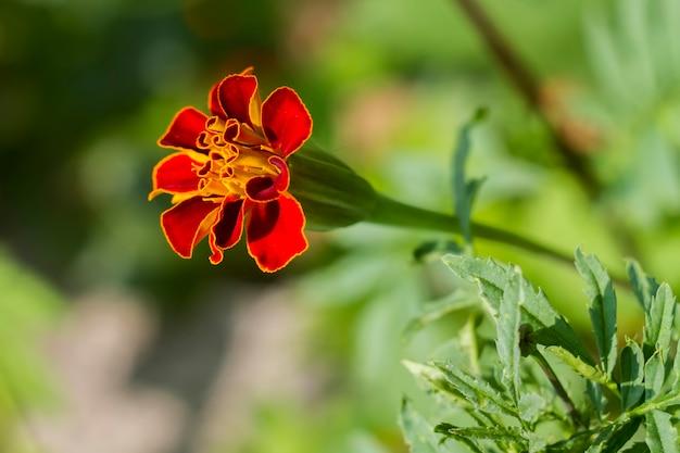 Tagetes patula fleur est rouge jaune, fond de buissons verts.