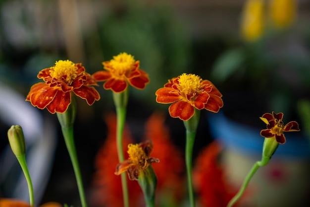 Tagetes patula le souci français est une espèce de plante à fleurs de la famille des marguerites