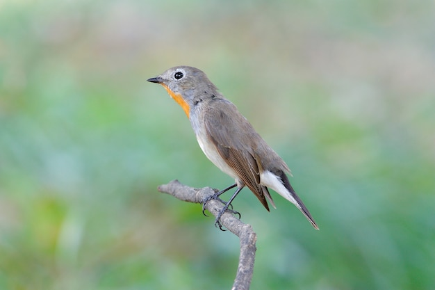 Taiga flycatcher ficedula parva beaux mâles de thaïlande