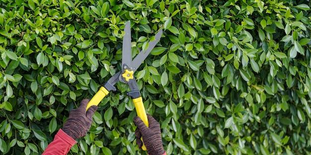 Taille des arbres d'ornement à la maison le matin