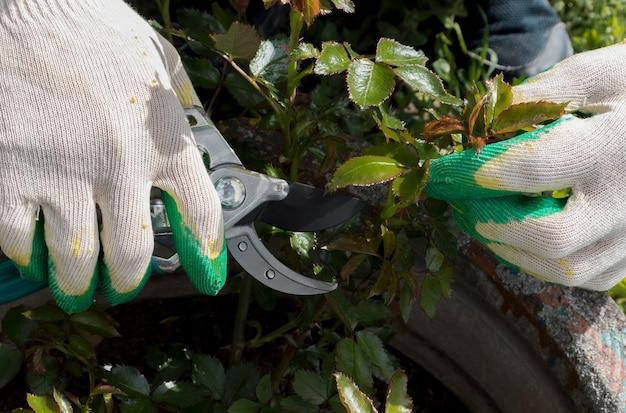 Taille des roses. jardinier prune roses grimpantes. comment tailler les rosiers dans votre jardin