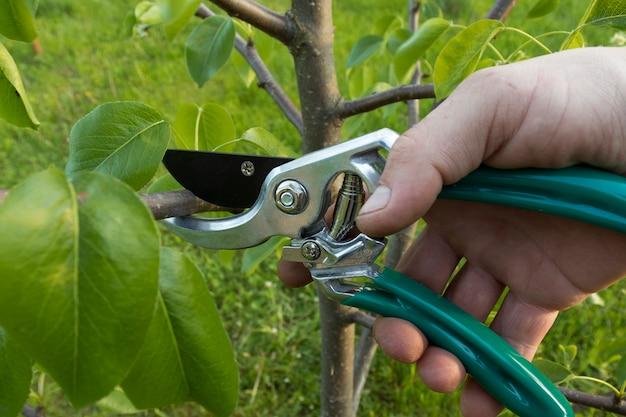 Tailler le jardin. les mains des hommes tiennent un sécateur de ciseaux de jardin et coupent les branches du poirier en gros plan. concept de soins de jardin.