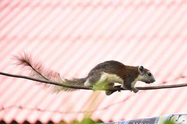 Les tamias grimpent sur des fils électriques dans la maison pour trouver de la nourriture.