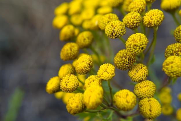 La tanaisie tanacetum est un genre de plantes herbacées vivaces et d'arbustes de la famille des astéracées ou compo...