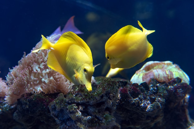 Tang jaune avec récif de corail (zebrasoma flavescens) dans l'aquarium