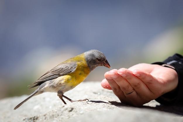 Tangara bleu et jaune mangeant des graines de la main de quelqu'un