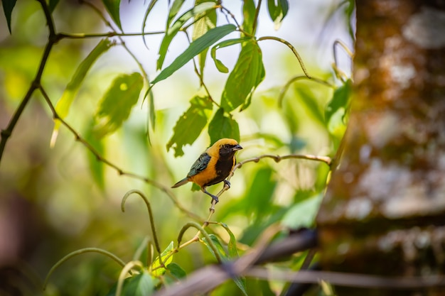 Tangara-buffle (tangara cayana) alias un oiseau saira amarela debout sur un arbre