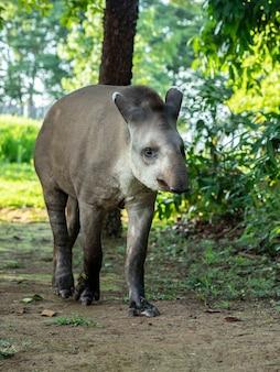 Tapir d'amérique du sud de l'espèce tapirus terrestris