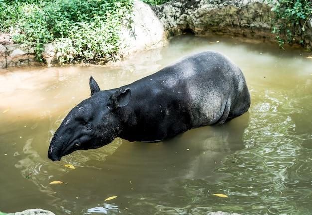 Tapir au zoo