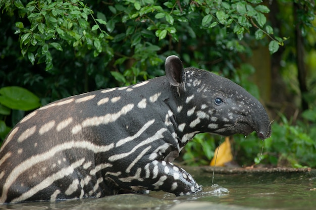 Tapir malais (tapirus indicus) dans l'eau