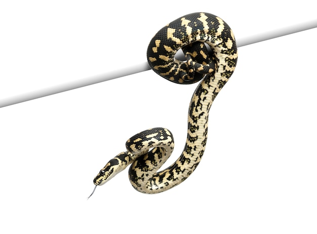 Tapis de jungle python, morelia spilota cheynei contre l'espace blanc