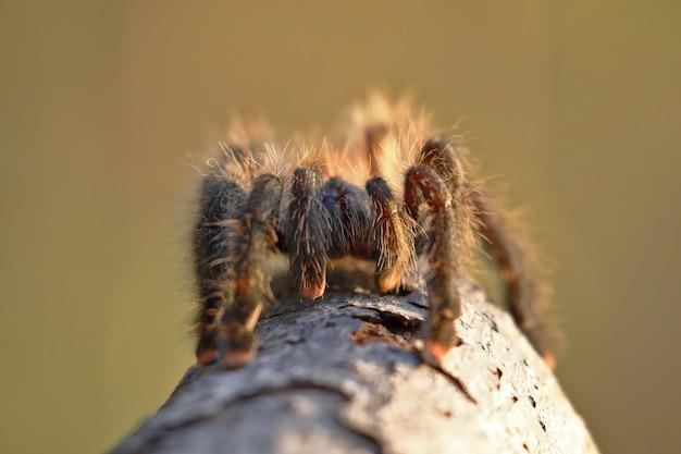 Tarantula de patas rosadas (avicularia avicularia), ejemplar tomado en libertad