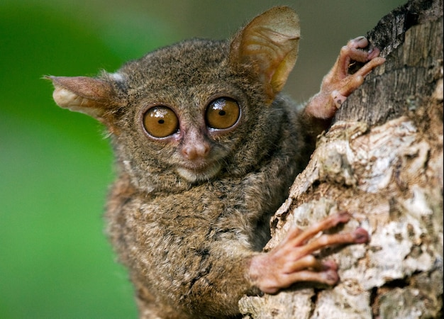 Tarsius est assis sur un arbre dans la jungle. fermer. indonésie. île de sulawesi.