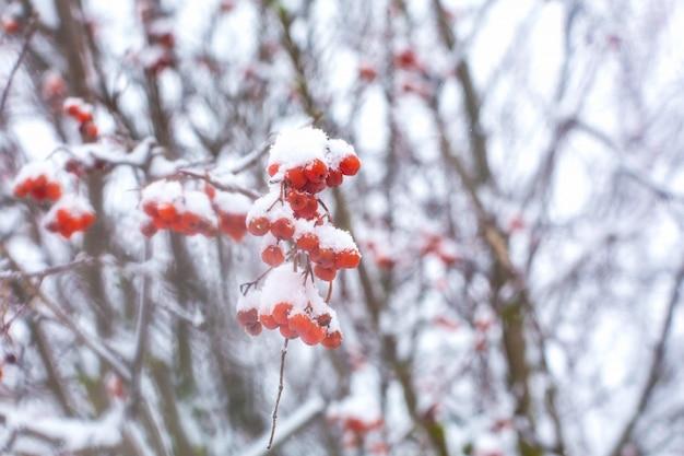 Un tas de baies de sorbier couvertes de neige est suspendu à un buisson.