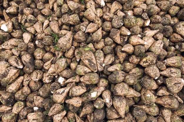 Tas de betteraves à sucre fraîchement récoltées sur le terrain