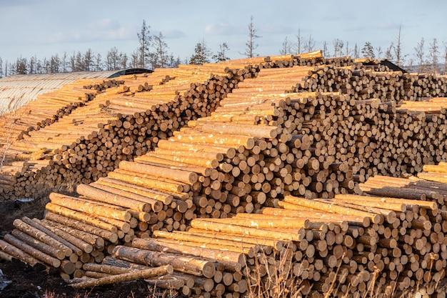 Tas de grumes de pin et de mélèze préparés pour l'exportation. le concept d'abattage et de destruction des réserves forestières mondiales.