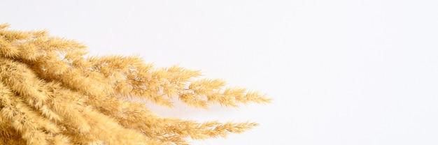 Tas d'herbe de la pampa des oreilles sèches jaunes poacées isolé sur blanc